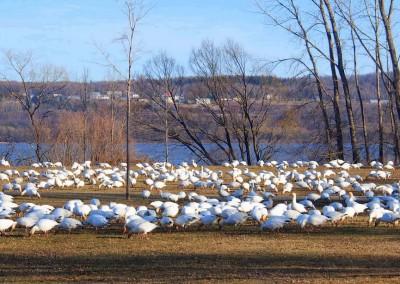 10'000ende der Weissen Schneehühner auf der Durchreise in die Arktis